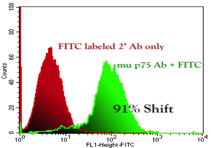 Flow Cytometry Staining and Analysis: Univariate Histograms NG6 cells (Clone of NG108-15 cells, a fusion of mouse neuroblastoma and rat glioma cells) were stained with 4 μg of mup75 antibody for 1 hr, washed, and subsequently incubated for 30 minutes with Anti-Rabbit FITC (2 μg).  Data acquired on a BD FACScan and processed with CellQuest software.  91% positive shift seen.